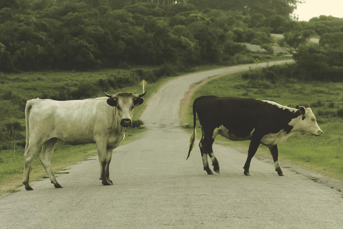 El toro creador de su camino