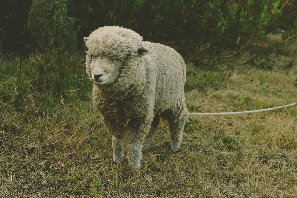 La oveja que pensaba demasiado