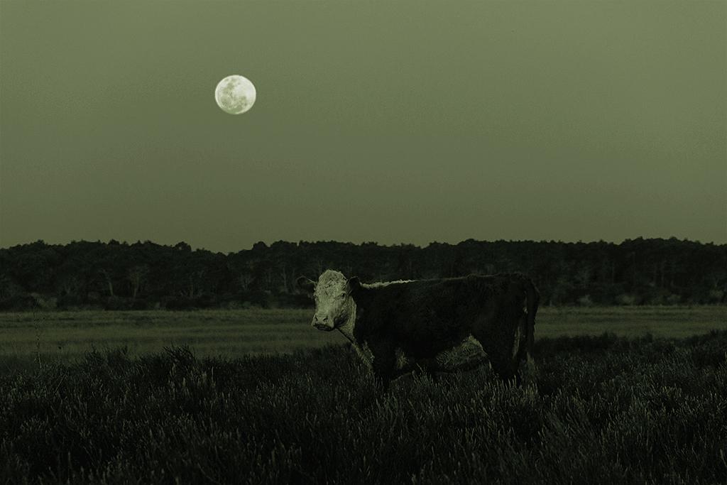 nunca-te-miro-una-vaca-de-frente